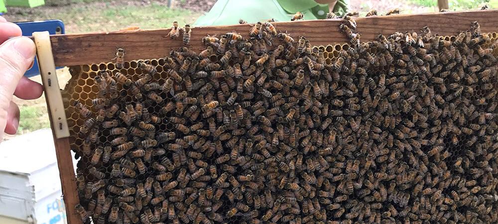 タイ北部の蜂の生ローヤルゼリーを採取する様子